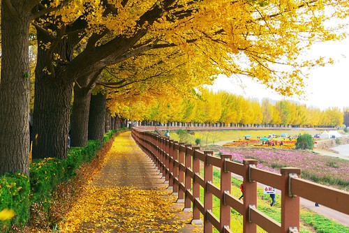 Asan Gingko Tree Road | by travel oriented