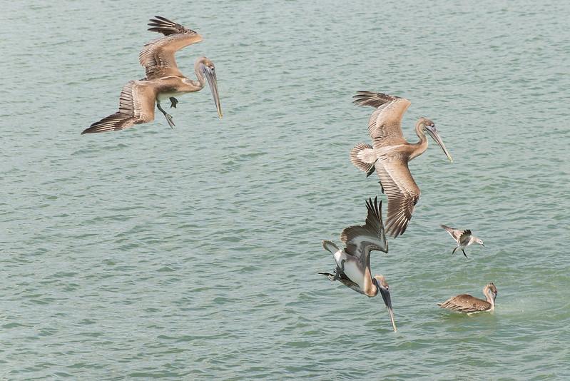 Hunting Brown Pelicans