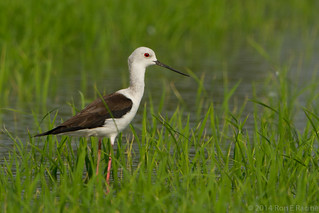Black-Winged Stilt | by rracine1