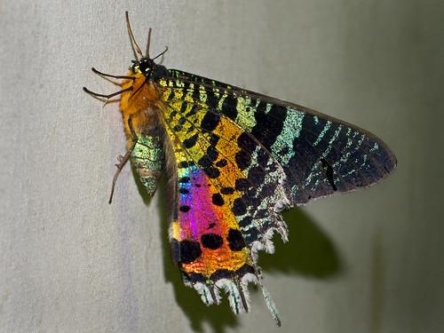 Madagascan sunset moth (Chrysiridia rhipheus), Vohimana reserve, Madagascar