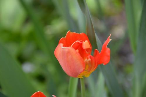 Tulipa - espèces et petits hybrides (sections 12 à 15) 33041284795_f73020d269