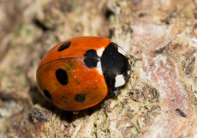 Ladybird, Sturmer, UK, October 2013 3