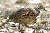 orange river francolin by Wildlife photos by Paul Donald