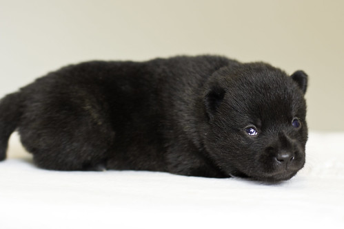 Nami-Litter1-Day10-Puppy1-Female-4 | by brada1878