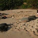 5 turtles chilling on the beach, Oahu