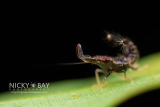 Leafhopper nymph (cf. Hylicinae) - DSC_3394