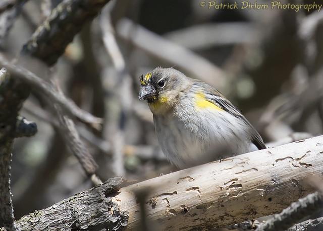 Yellow-rumped Warbler high in Monterey Cyprus