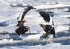 Steller's sea eagles in a battle (1) by takashi muramatsu
