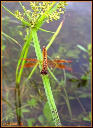 india macro ilovenature nokia flickr dragonfly maharashtra thane megapixel nationalgeographic indiaimages gitesh 41megapixel gitz pureview talasari nokia808 nokia808pureview gitesh142 gitty3 varkhande