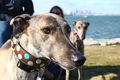 Greyhound Adventures at Deer Island, Winthrop MA October 27th 2013
