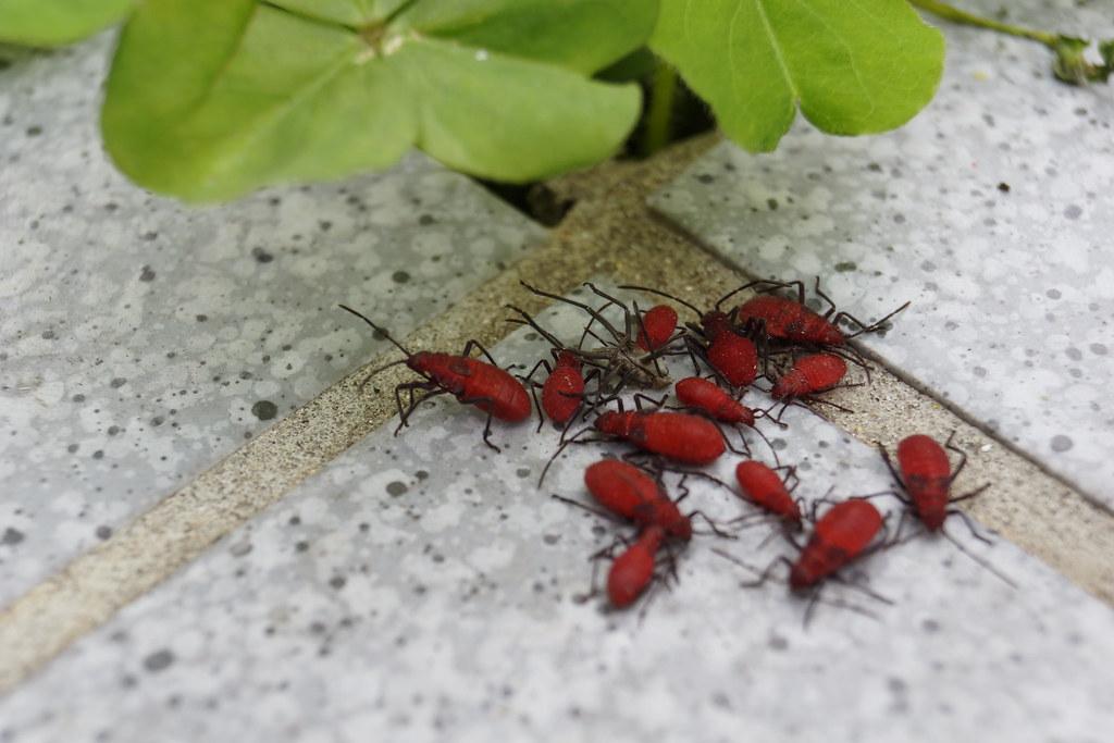 紅姬緣椿象