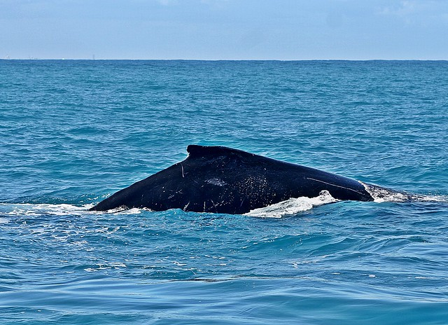 Whale Watching Perth - Humpback