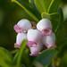 Flickr photo 'Arctostaphylos uva-ursi MOD512-S052' by: Sarah Gregg Petriccione.