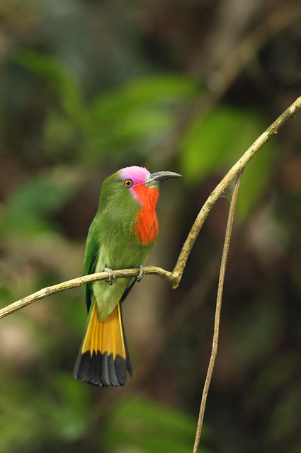 Red Bearded Bee-eater, Borneo