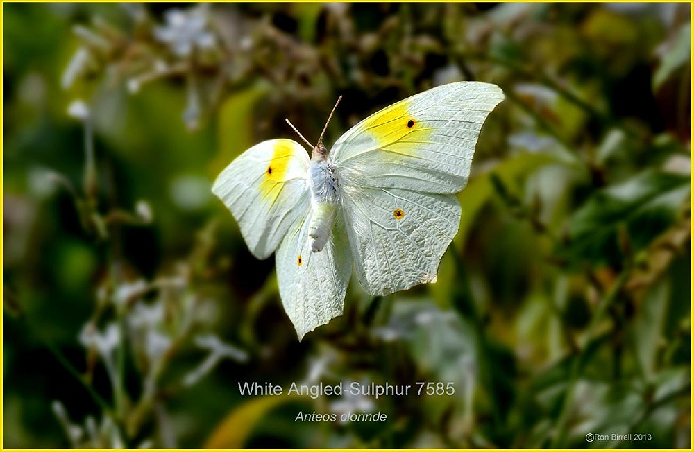 White-Angled Sulphur in flight Texas buttefly photography by Ron Birrell, DSC_7485