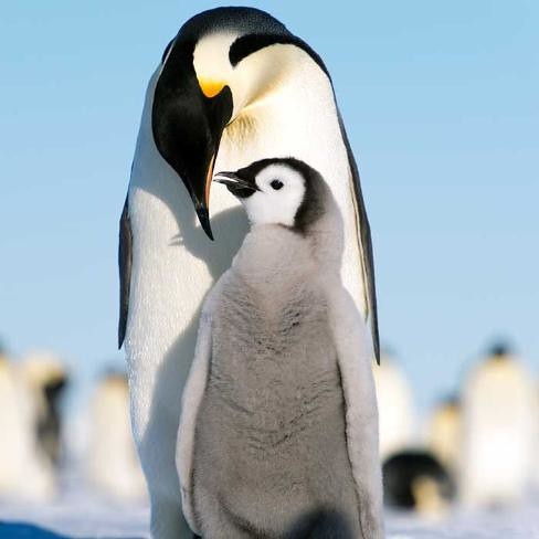 Penguin Parents