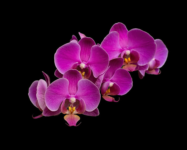 Orchid Cluster
