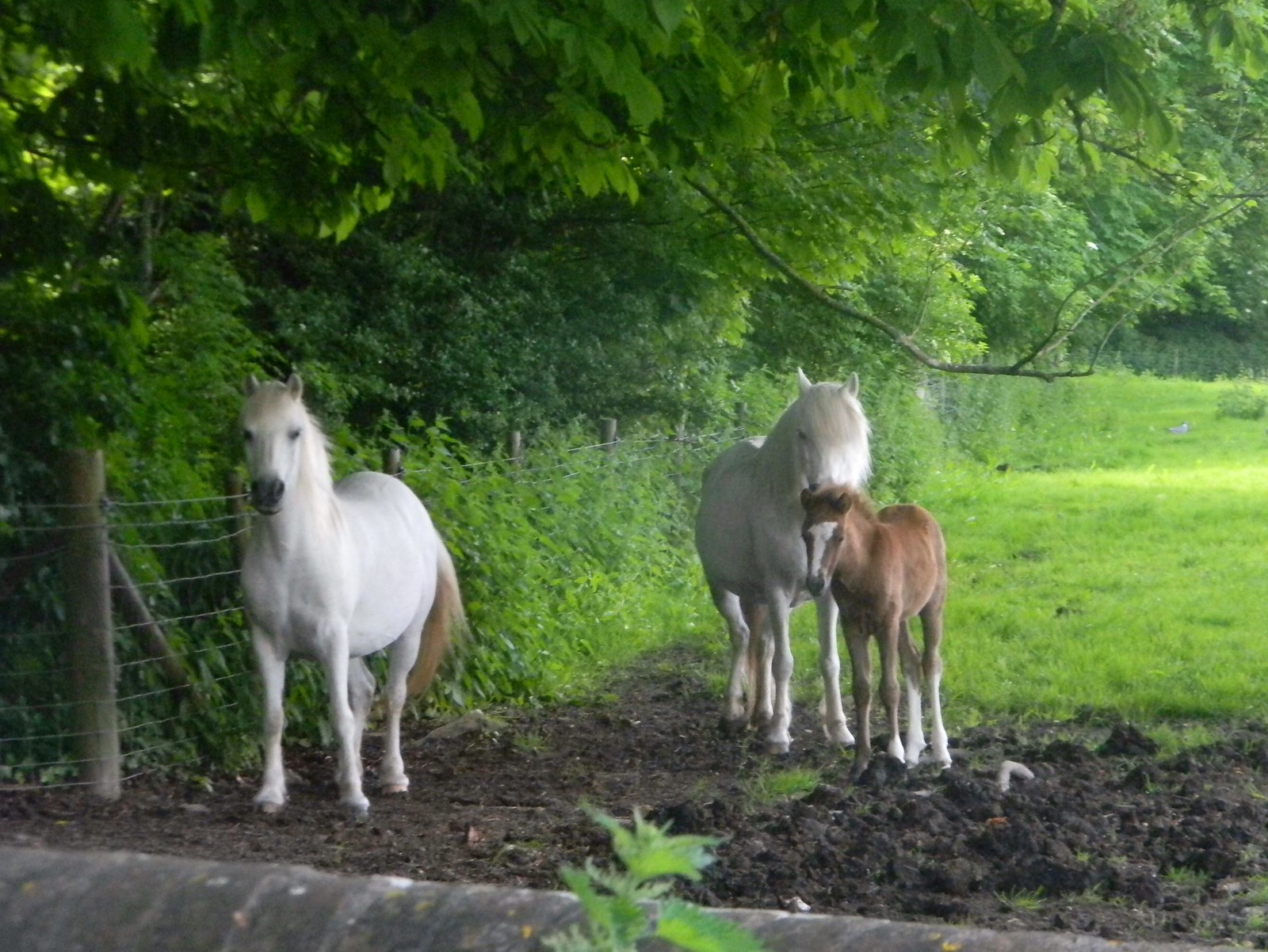 White horse with foal Lewes Circular via West Firle
