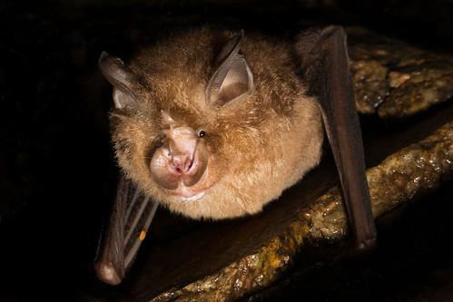 Rhinolophus pusillus [Least Horseshoe Bat]