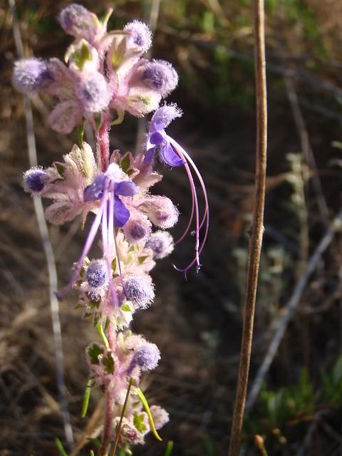 Trichostema lanatum (Wooly bluecurls)