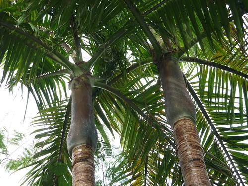 Archontophoenix cunninghamiana, Arecaceae | by jccsvq