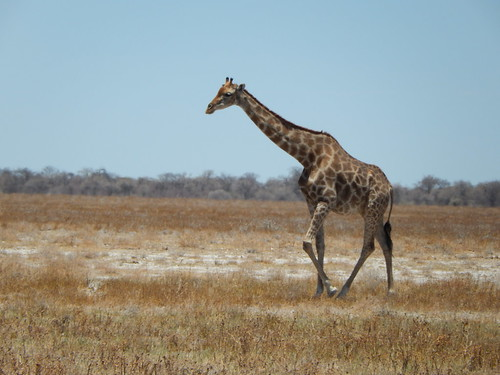 Etosha NP - giraffe on the move