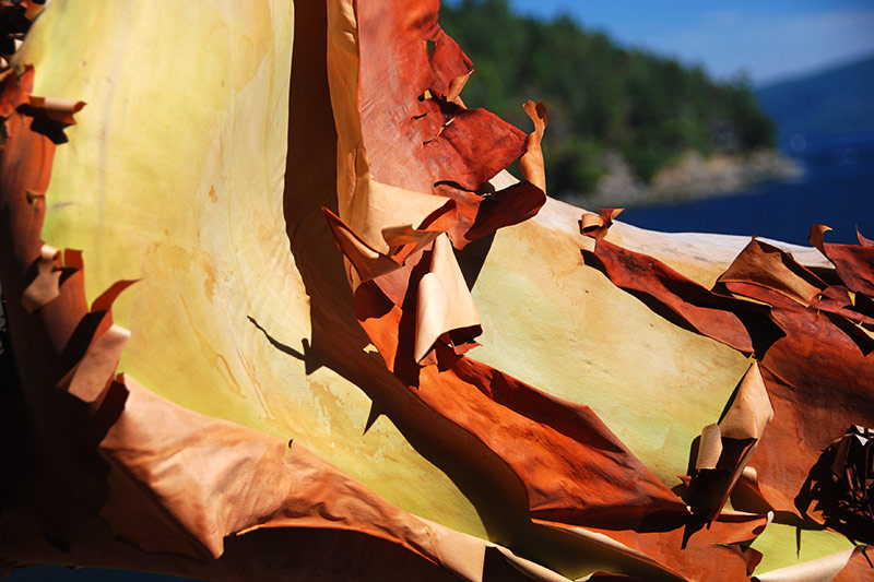 Arbutus Tree Bark, Mayne Island, Southern Gulf Islands, British Columbia