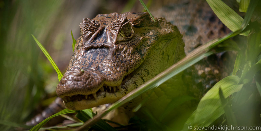Spectacled Caiman (Caiman crocodylus), La Selva Biological Station. Costa Rica