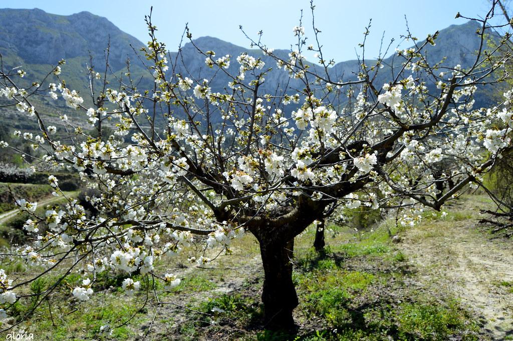Los cerezos en flor -valle de la gallinera-