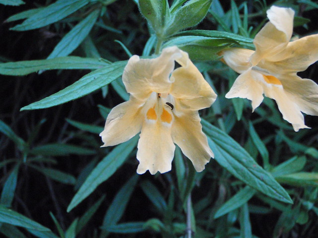 Mimulus longiflorus (Southern bush monkeyflower)