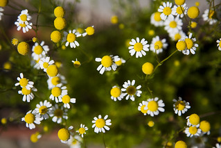 chamomile | by Knight_Leora