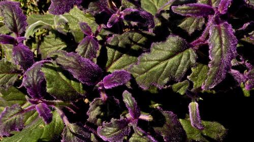 Purple Velvet Plant | by elnudomolesto