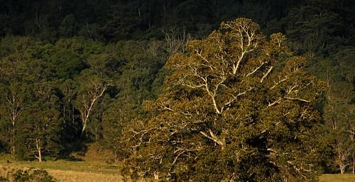 plants nature forest landscape countryside scenery ficus treebark moretonbayfig moraceae ruralaustralia rurallandscape ficusmacrophylla larnook wilsonsrivervalley leycestercreek