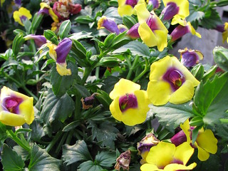 Torenia Gilded Grape | by Les Serres Fortier