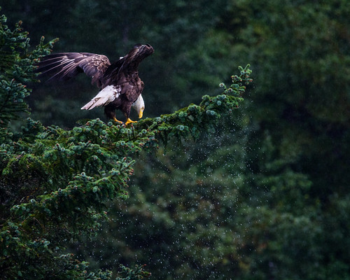 Bald Eagle Landing in the Rain | You can see the water ...