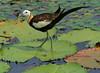 水雉 (公 )Pheasant-tailed Jacana (male) @ Taiwan by chenwenhua0926
