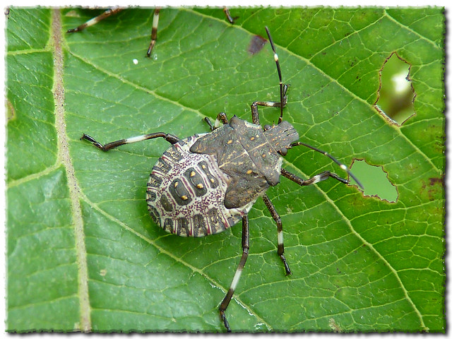 Halyomorpha halys - Brown Marmorated Stink Bug - Nymph Stage Image 2