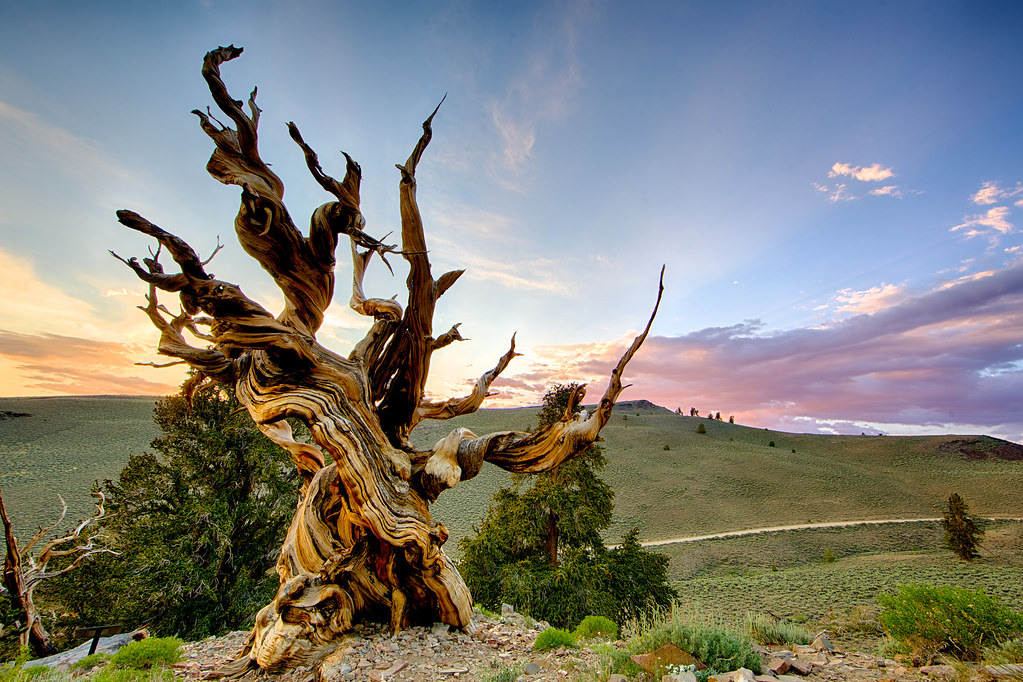Methuselah, White Mountain, California