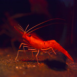 深海海老 Deep-sea shrimp in red light