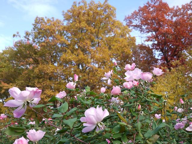 日, 2013-11-03 12:58 - Bronx Botanical Gardenの紅葉