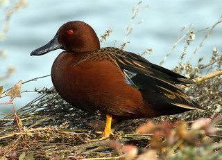 Cinnamon Teal | by Dwine76