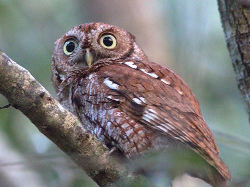 Eastern Screech-Owl 021-20170219