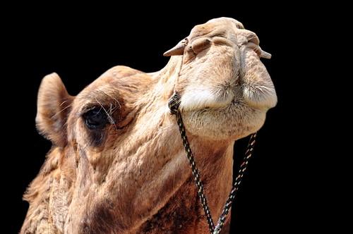india rajasthan bikaner camel asienmanphotography asienmanphotoart