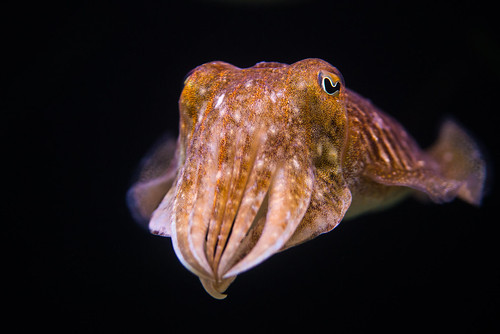 Cuttlefish | by RichardJames1990