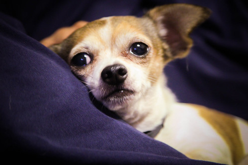 Chihuahua | by IOWL53