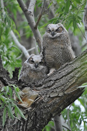 05212013 741a Great Horned Owlets - Bubo virginianus | by Laurel Parshall
