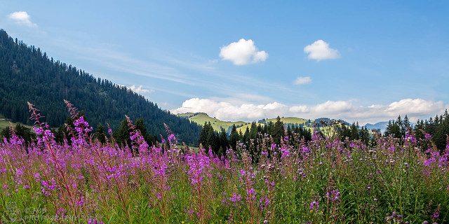 Pink flowers in the Alps
