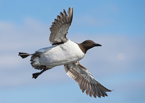 Common Guillemot     Uria aalge | by ipaddave