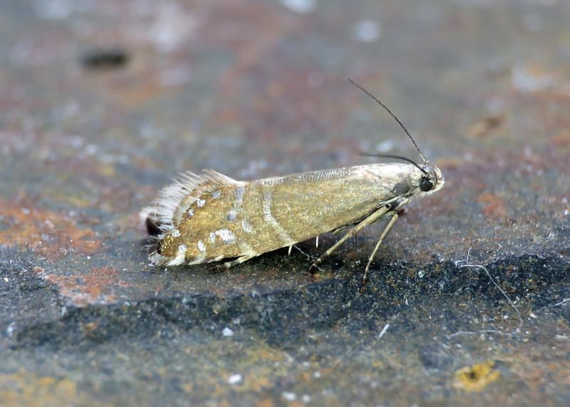 19.002 Glyphipterix thrasonella