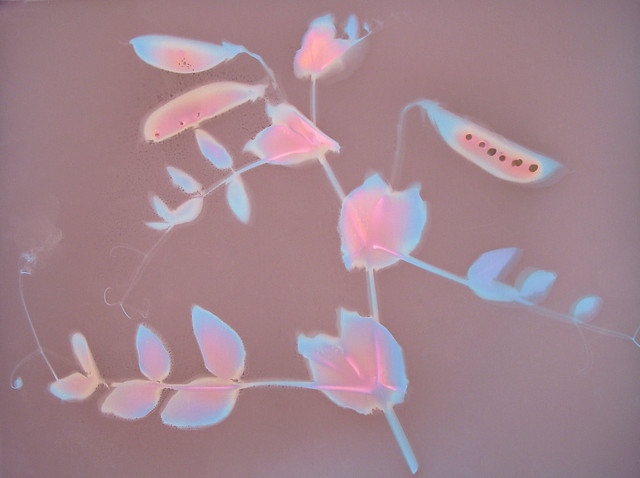 Lumen Print 1657 Snow Peas by John Fobes; copyrighted all rights reserved